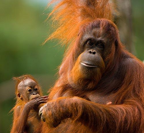 Resultado de imagen para orangután de Borneo