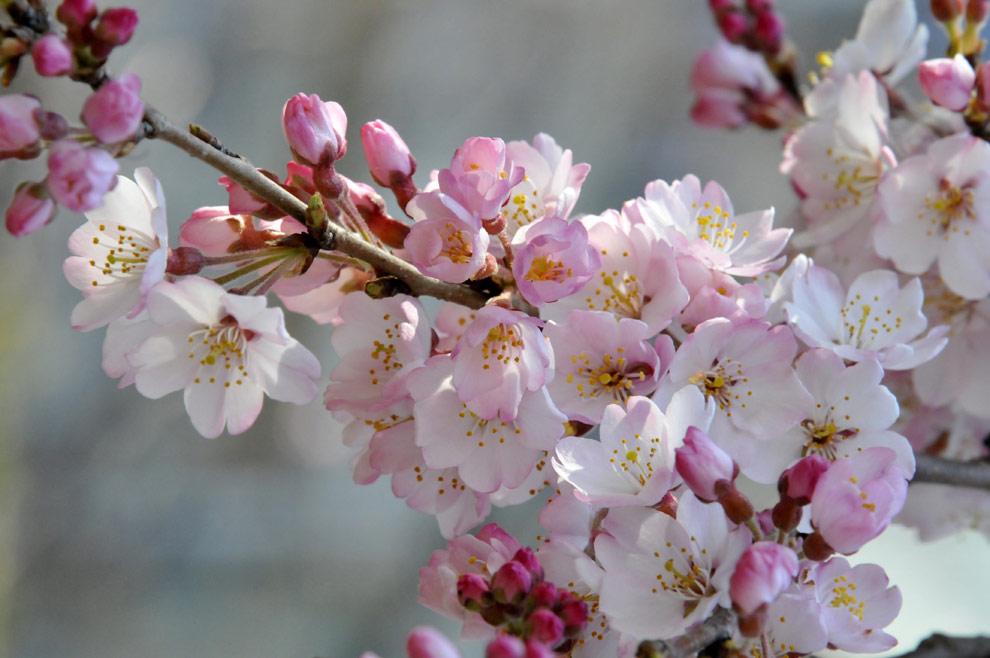 Los Cerezos En Flor Aportan Un Rayo De Esperanza A Los Japoneses