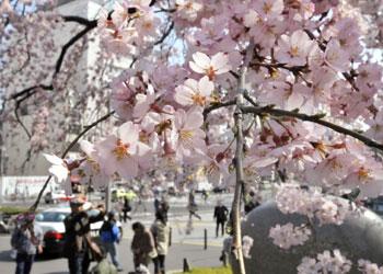 Los cerezos en flor aportan un 'rayo de esperanza' a los japoneses