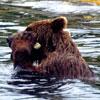 Un oso salvaje muy aseado