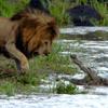 El coraje del 'rey de la selva' al cruzar un río infestado de cocodrilos