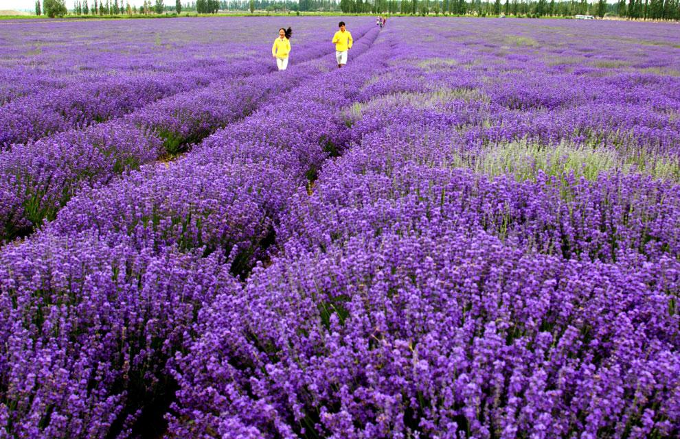 1000 images about lavanda on pinterest lakes lavender for Fotos de lavanda