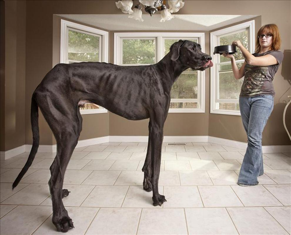 El perro más alto del mundo, en el nuevo libro Guinness
