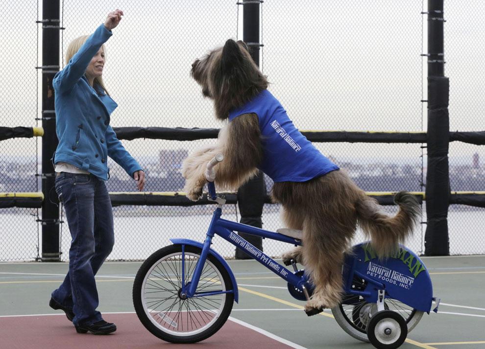 Norman, el perro que patina y monta en bicicleta