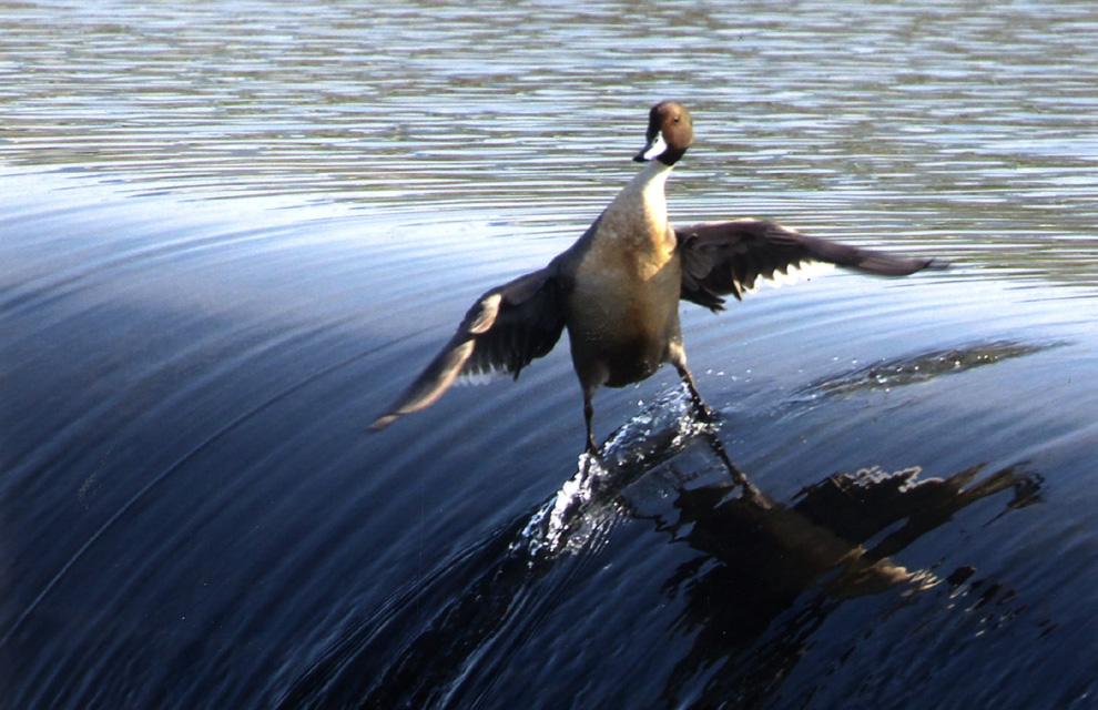 ¿Un pato haciendo surf?