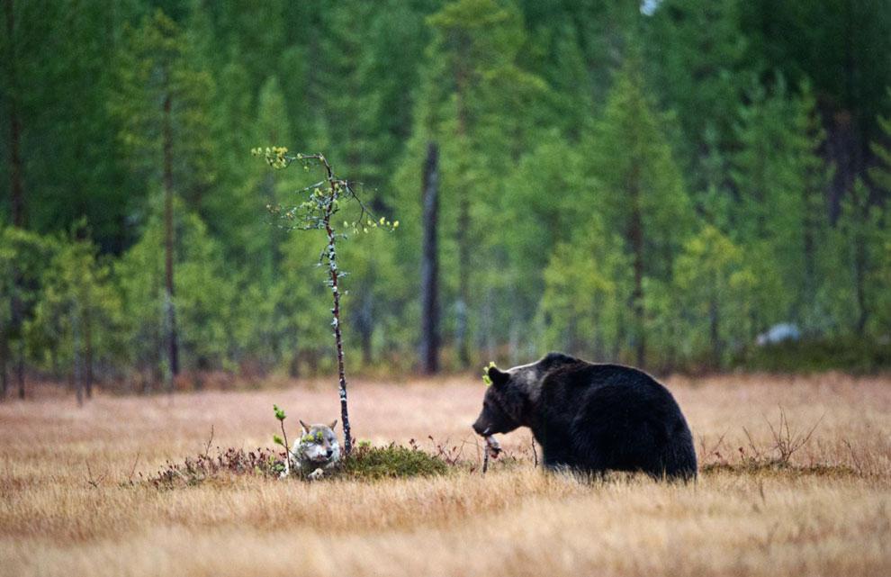 La sorprendente amistad entre una loba y un oso salvajes
