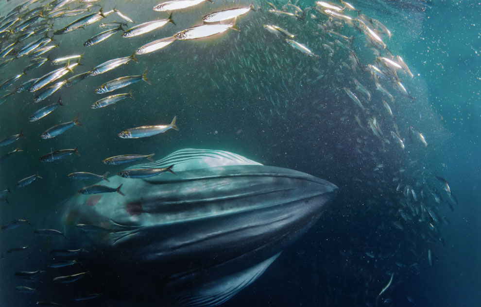 El descomunal banquete de la ballena