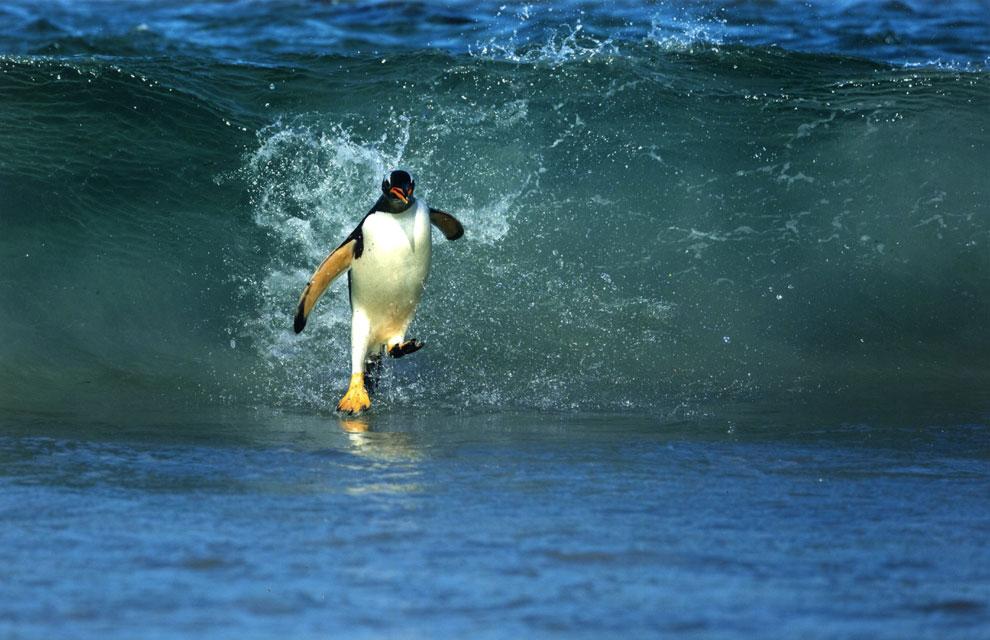 Juanito, el pingüino que camina sobre el agua