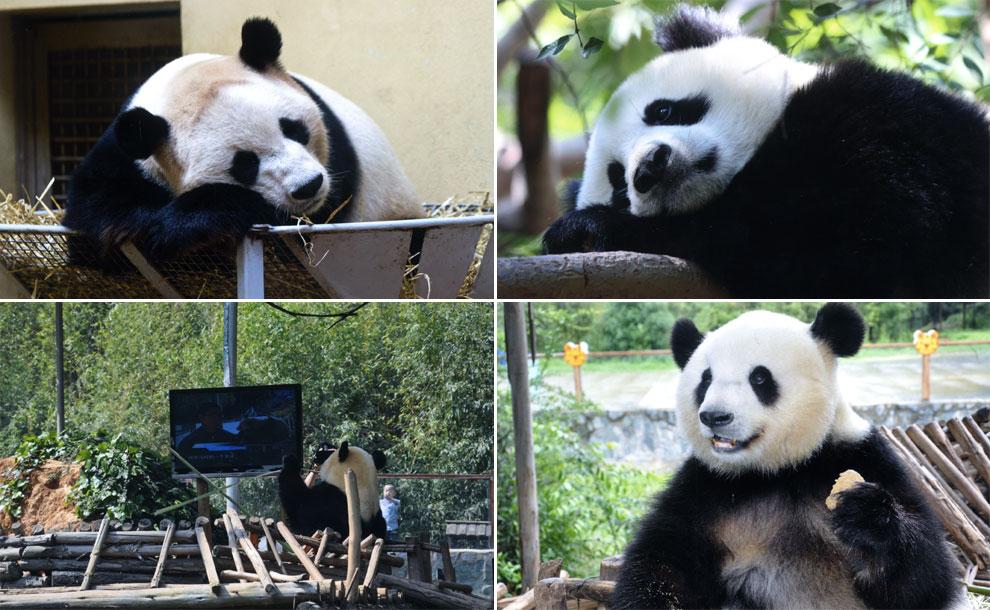 Un panda vence a su tristeza viendo la tele