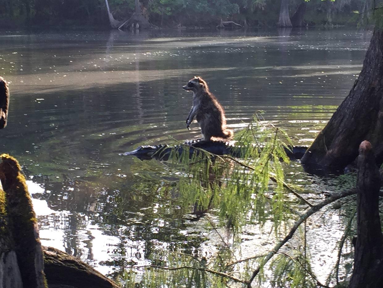 Un caimán, el 'taxi' particular de un mapache