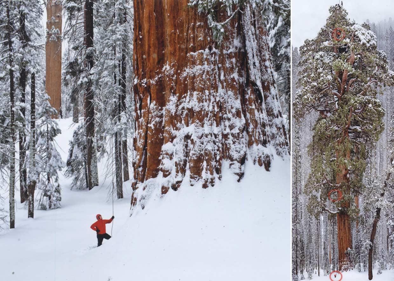 Escalan una secuoya gigante cubierta de nieve