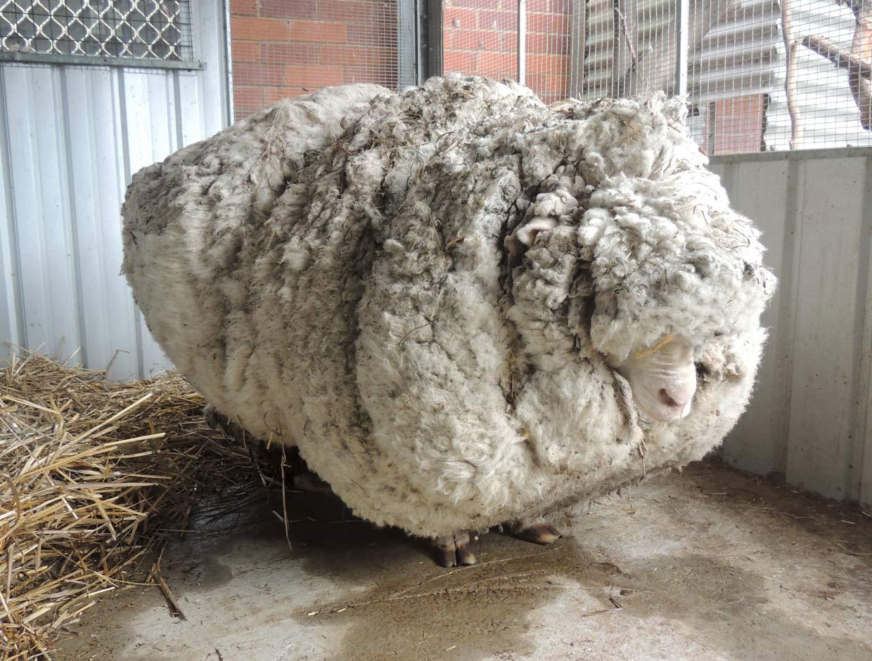 Récord mundial de lana en una oveja