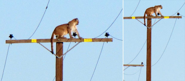 ¿Cómo subió este puma a un poste de luz?