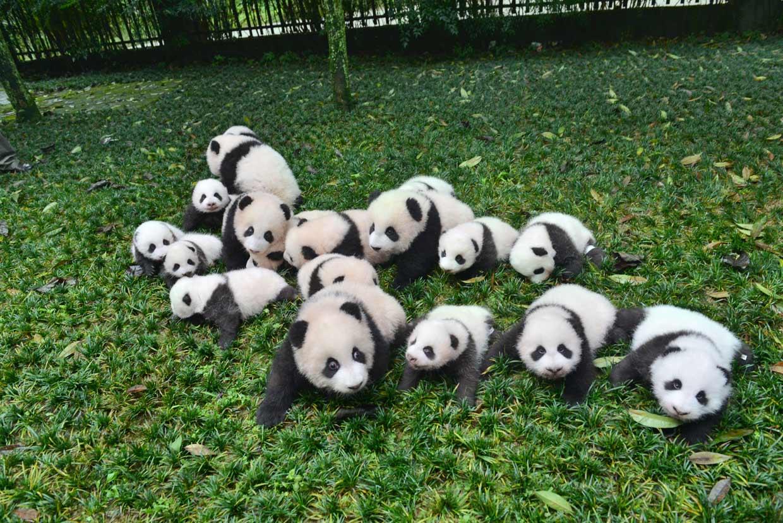 ¡Qué ternura! Nacen 13 osos panda en China