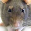 Una rata deja en tierra a un Airbus que cubría la ruta Estocolmo-Chicago