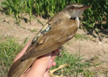 Pesa sólo 30 gramos pero vuela más de 3.000 kilómetros para pasar el invierno en África
