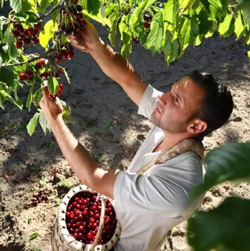 Disfruta las mejores cerezas y picotas, las del Valle del Jerte