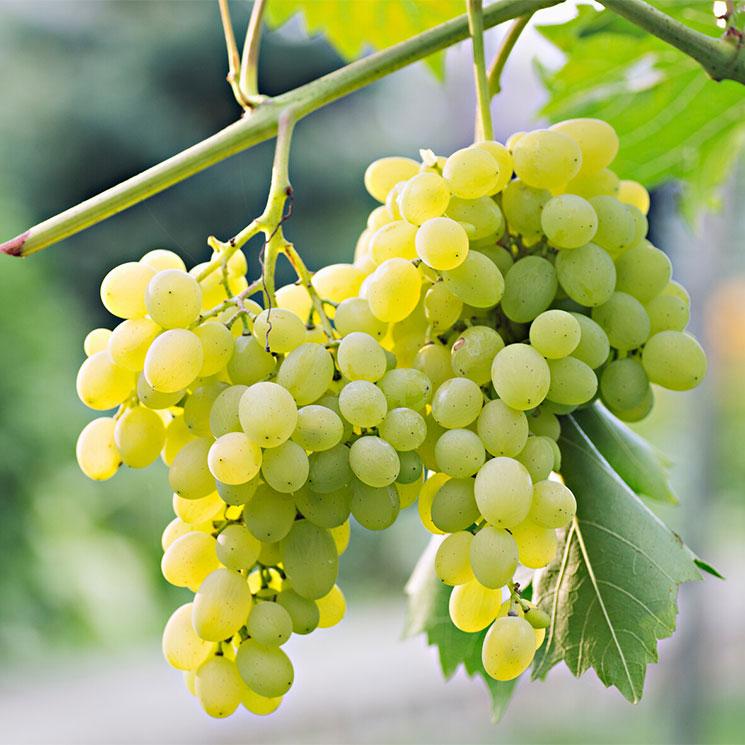 Descubre las variedades de uva blanca más populares
