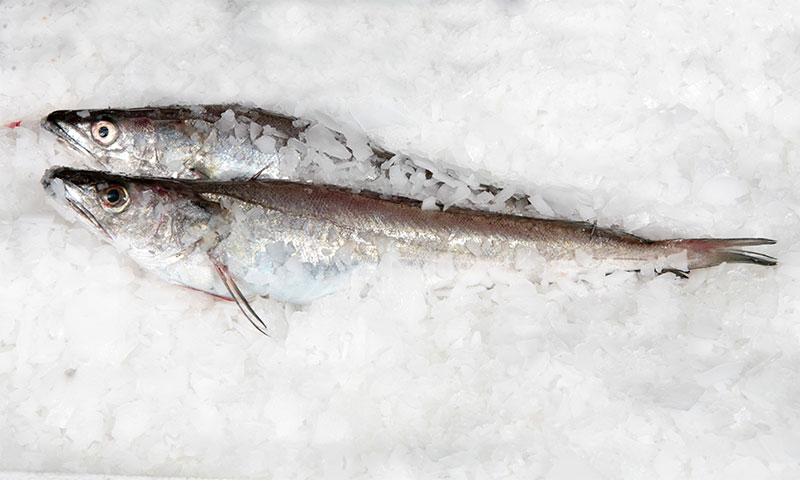 ¿Sabes qué pescado es el fogonero?