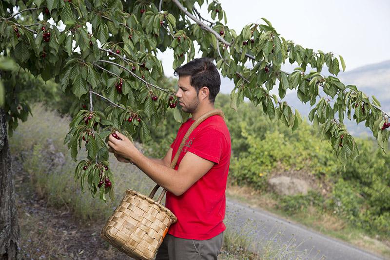 Las picotas del Jerte, la fruta del verano ya está aquí