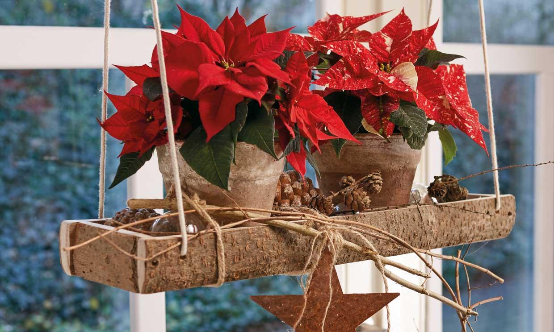 Trucos para cultivar y cuidar la flor de Pascua en tu propia casa