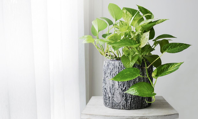 Poto, una planta de interior muy fácil de cultivar para alegrar la casa