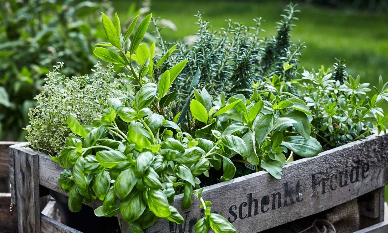 Cultiva estas plantas medicinales en casa y aprovéchate de sus beneficios