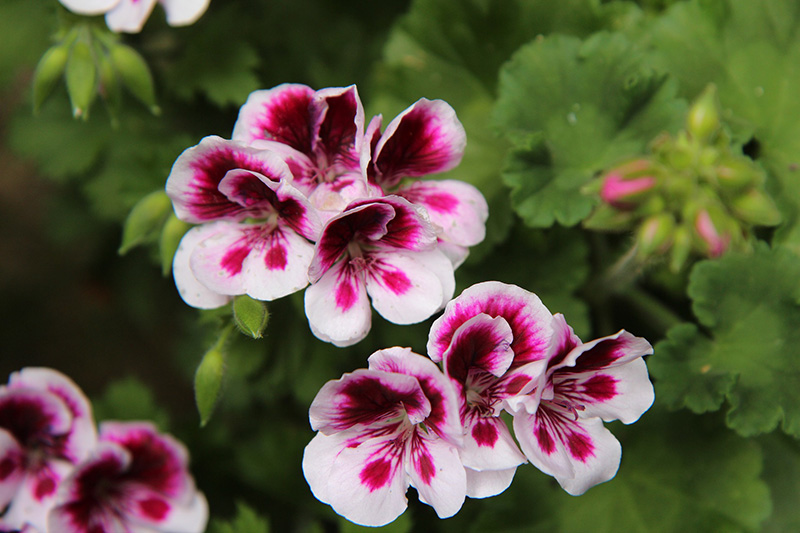 Geranio con flores rosas y malvas.