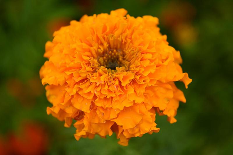 Clavel chino o tagete en flor.