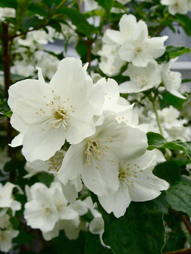 Flores de jazmín blancas.