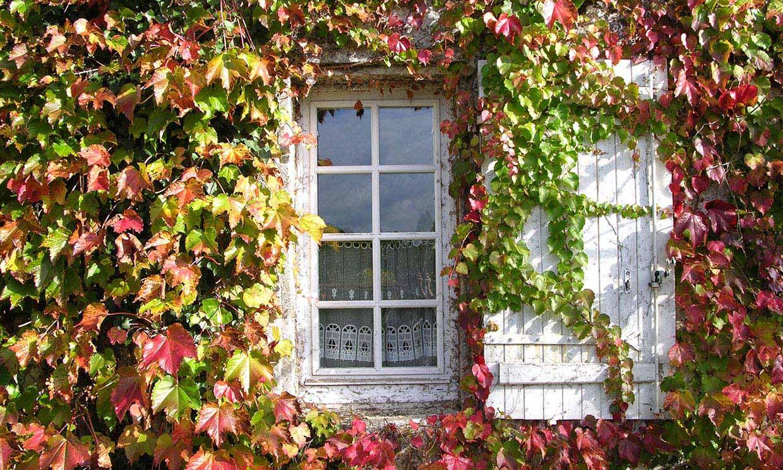 Parra virgen, la trepadora perfecta para llenar de belleza y color tu jardín