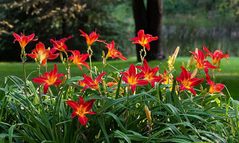 Hemerocallis o lirio de San Juan, una explosión de color para tu jardín