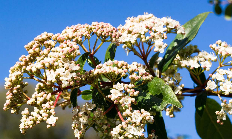 Durillo: un arbusto fuerte y bello perfecto para decorar el jardín