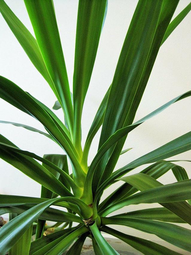cultivo-yuca-9