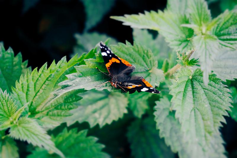 Ortiga sobre la que posa una mariposa