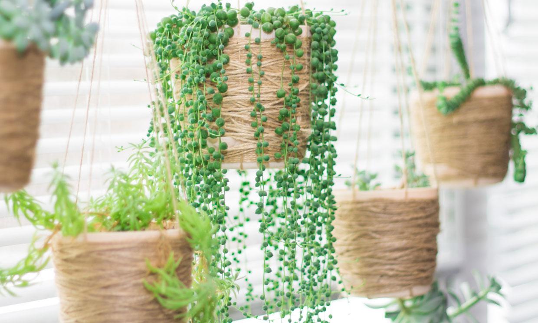 Los cuidados de la planta rosario, una suculenta llamativa y muy resistente