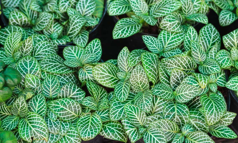 Descubre cómo cultivar la fitonia, una planta de origen tropical de gran atractivo ornamental