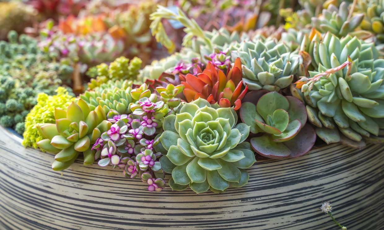 Echeverias, preciosas suculentas, muy resistentes y fáciles de cultivar
