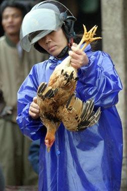Preocupación ante el aumento de casos de 'gripe del pollo'