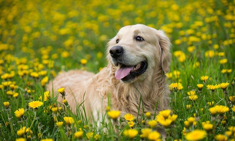 Los mejores cuidados para tu cachorro golden retriever