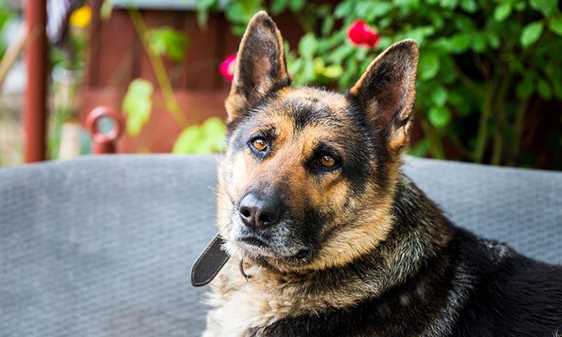 Si vas a adoptar un perro, adopta un jubilado
