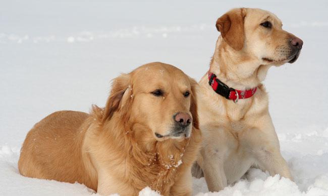 Cómo Diferenciar Un Labrador De Un Golden Retriever