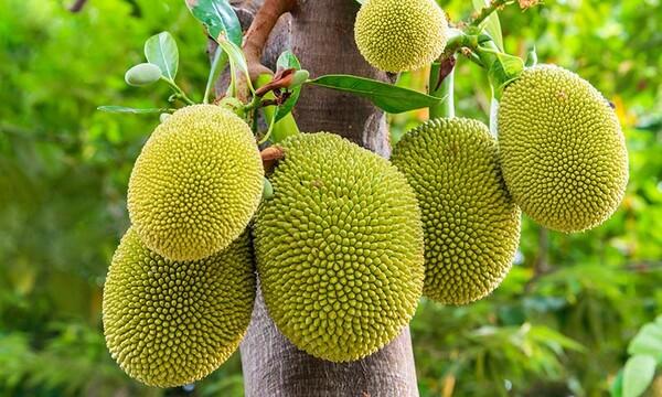 [Imagen: jackfruit-t.jpg?filter=w600&filter=ds75]