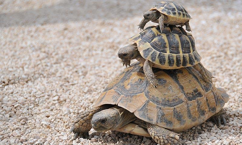 C mo s si mi tortuga est embarazada for Imagenes de estanques de tortugas