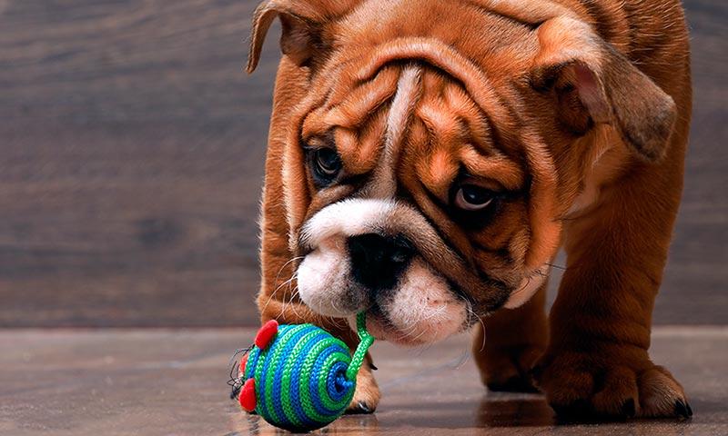 Juguetes que estimularán la inteligencia de tu perro