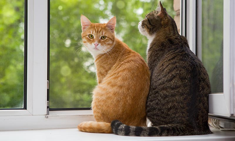 Evita las peleas felinas cuando un nuevo gato llega a casa