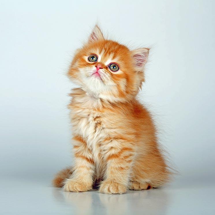 miado de gato no celular