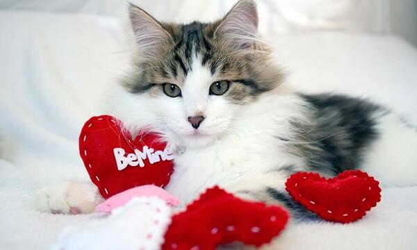 como+saber+que+mi+gato+es+hembra+o+macho