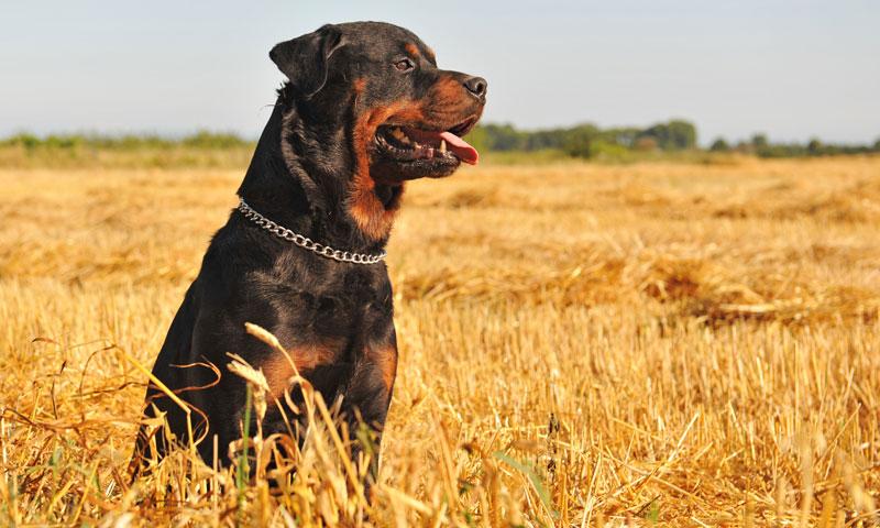 Lo que necesitas saber sobre los perros considerados potencialmente peligrosos