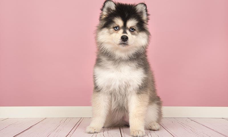 Razas de perro más parecidas al lobo - Foto